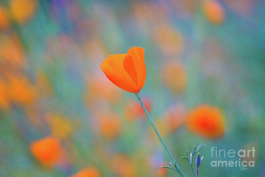 Sierra Nevada Photograph - Spring Poppy by Anthony Michael Bonafede