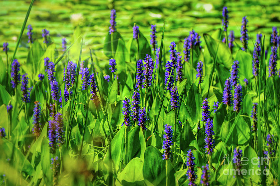Spring purple pond flowers photograph by peggy franz missouri photograph spring purple pond flowers by peggy franz mightylinksfo