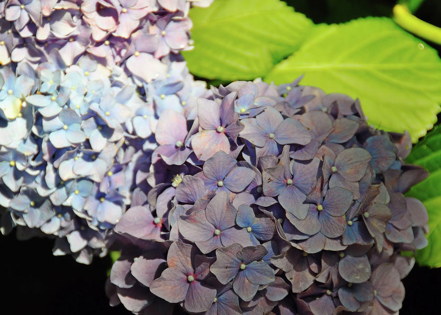 Hydrangea Photograph - Spring Shades by JAMART Photography
