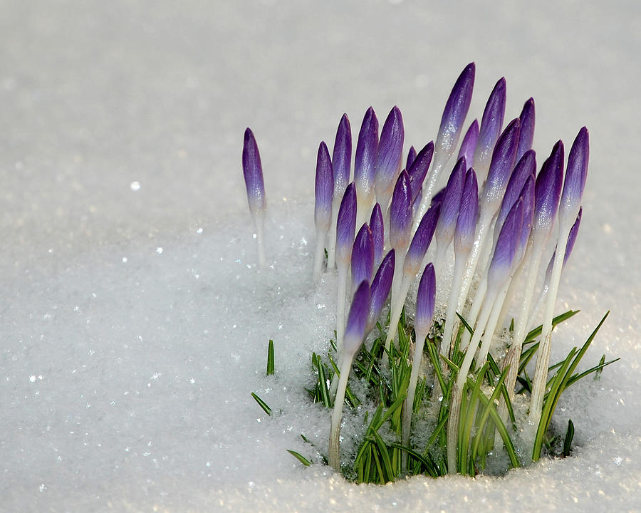 Spring Photograph - Spring Snow by Lisa Kane