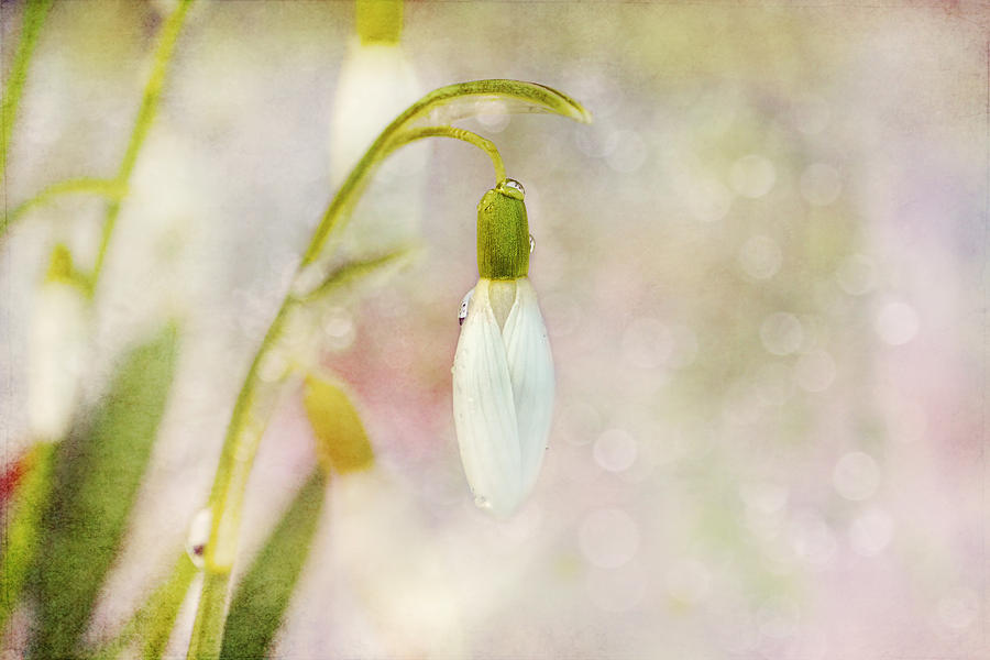 Snowdrops Photograph - Spring Snowdrops And Bokeh by Peggy Collins