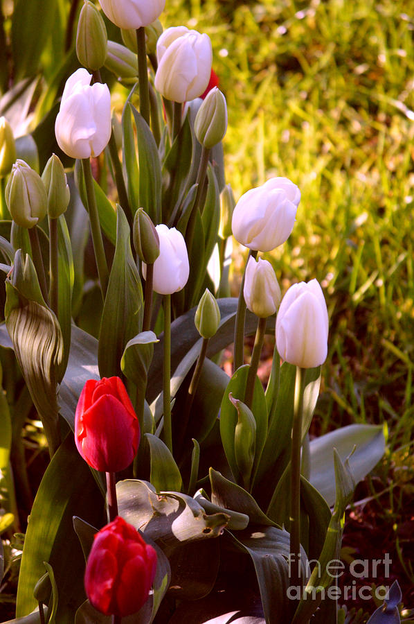 Spring Time Tulips by Susanne Van Hulst