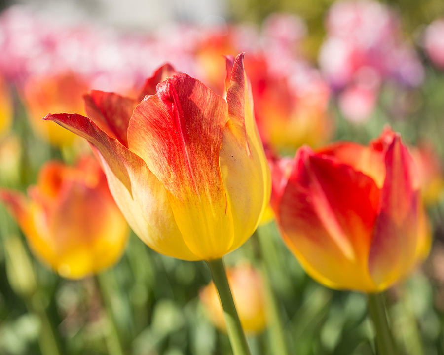 Tulips Photograph - Spring Touches My Soul by Julie Andel