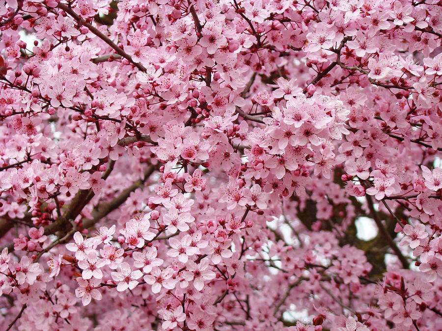 Spring Trees Pink Flower Blossoms Baslee Troutman Photograph By