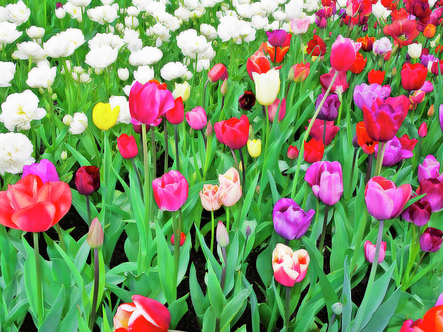 All Photograph - Spring Tulips Flower Field I by Artecco Fine Art Photography