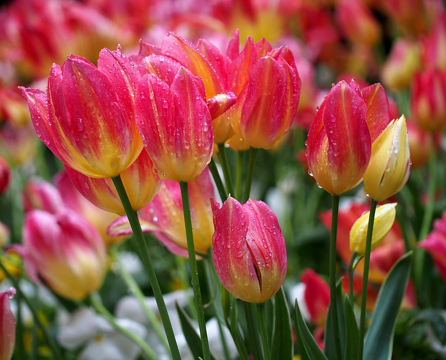 Spring Tulips In The Rain Photograph