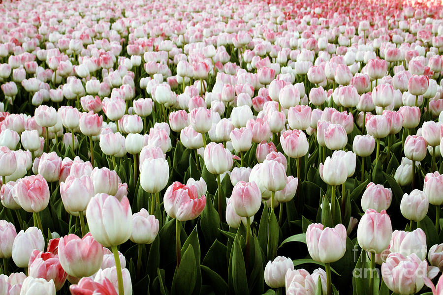 Tulips Photograph - Spring Tulips by Linda Woods