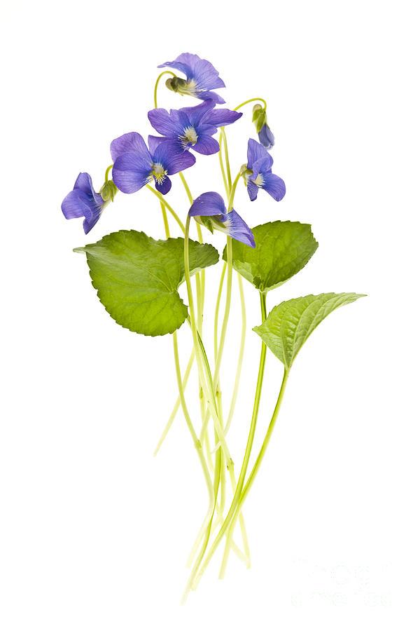 Violets Photograph - Spring Violets On White by Elena Elisseeva