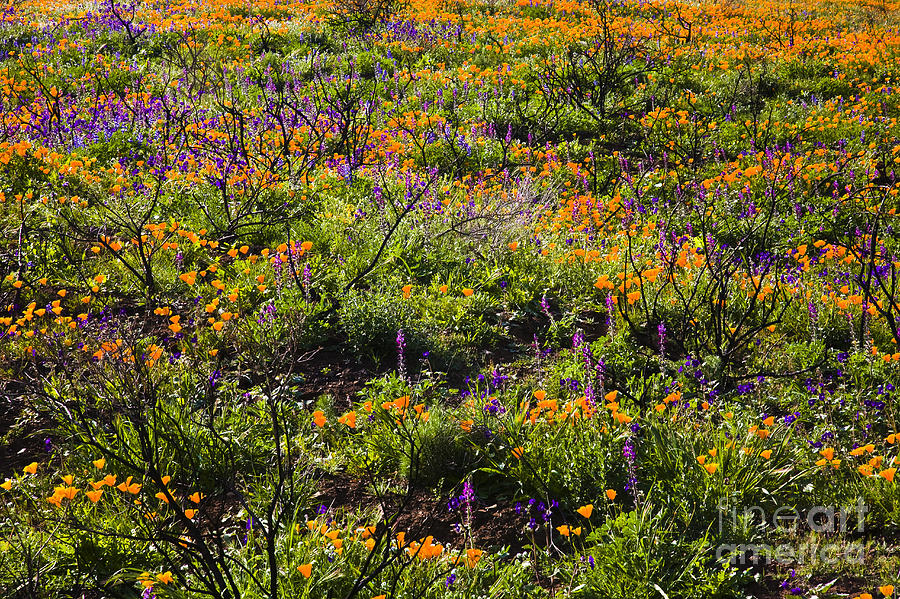Santa Monica Mountains Photograph - Spring Wildflowers by Greg Clure