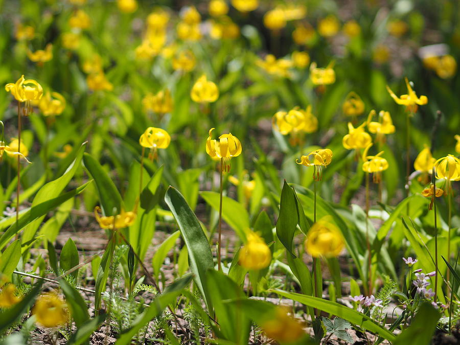 Trout Lilies Photograph - Spring Wildflowers by Julie Wyatt