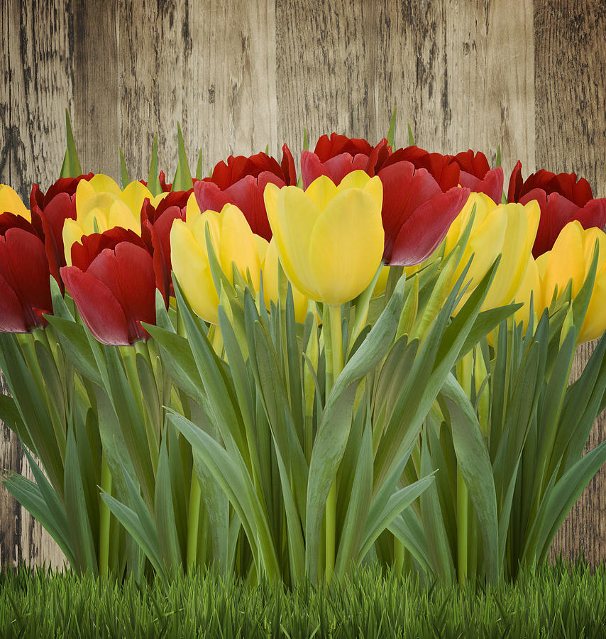 Yellow Tulips Photograph - Spring Yellow And Red Tulips by Gillian Dernie