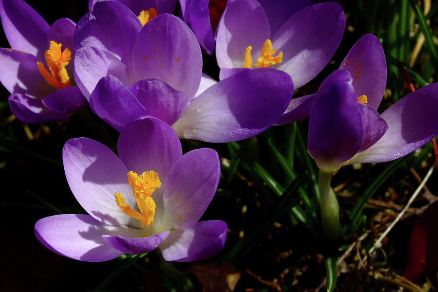 Crocus Photograph - Springs First Flowers by Brad Chambers