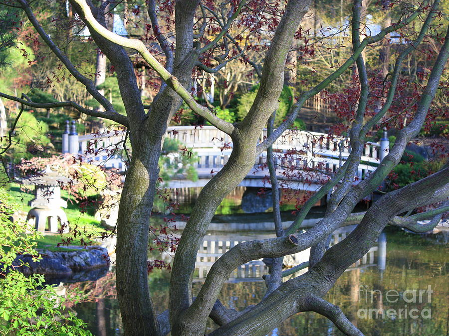 Japanese Garden Photograph - Springtime Bridge Through Japanese Maple Tree by Carol Groenen