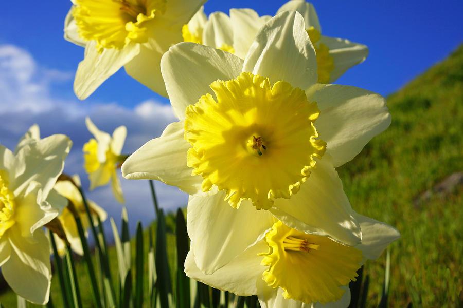 Springtime Bright Sunny Daffodils Art Prints Photograph
