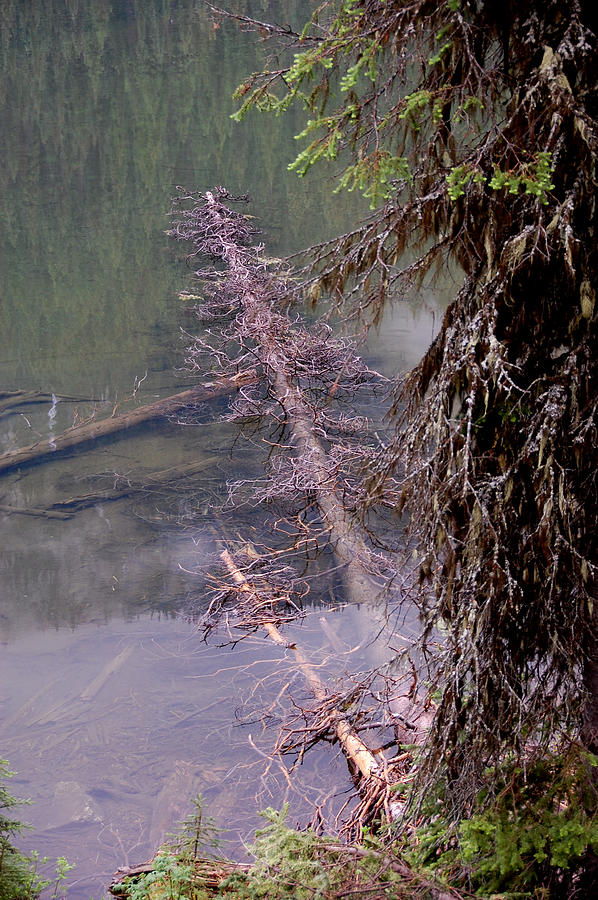 Death Photograph - Spruce Carcass by Ivan Tamas