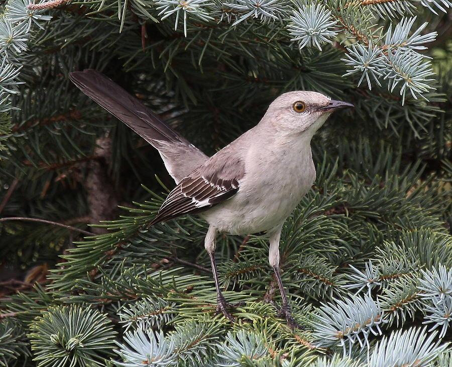 Bird Photograph - Spruced-up Mocker by Larry Federman