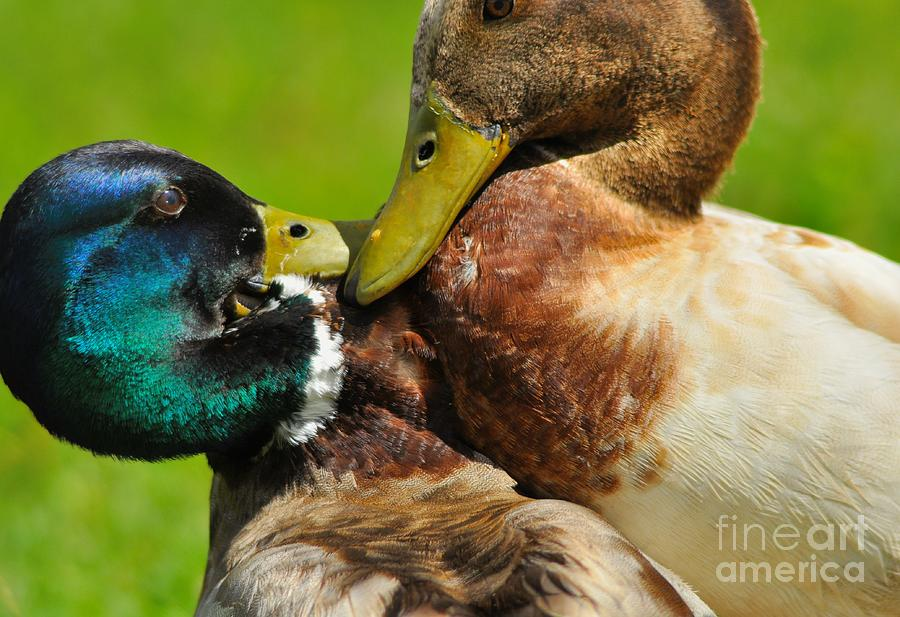 Mallard Photograph - Squabble between Mallard Drakes by Merrimon Crawford