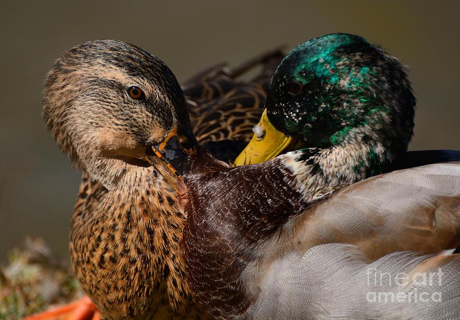 Mallard Photograph - Squabble between Mallard Ducks by Merrimon Crawford