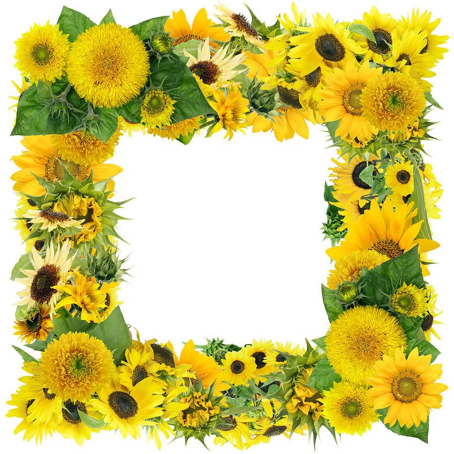 Square Summer Sunflowers Frame Photograph by Aleksandr Volkov