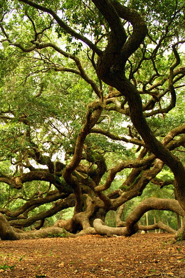 Angel Oak Photograph - Squiggly Angel Oak Branches by Heidi Berkovitz
