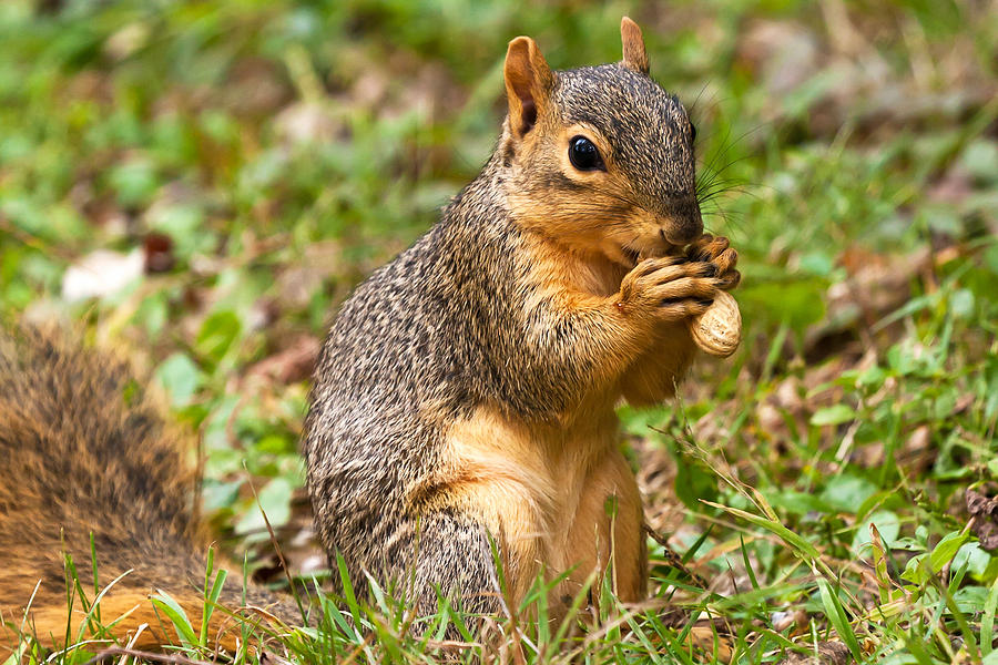 Fox Squirrel Photograph - Squirrel Eating A Peanut by James Marvin Phelps