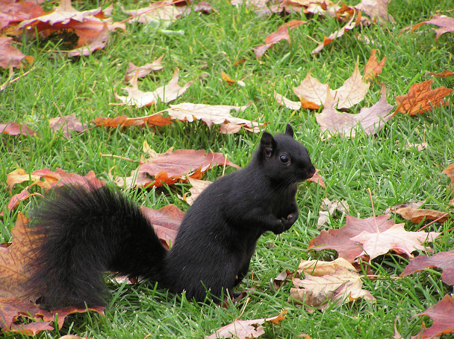 Melanistic Photograph - Squirrel Exploring by Richard Mitchell