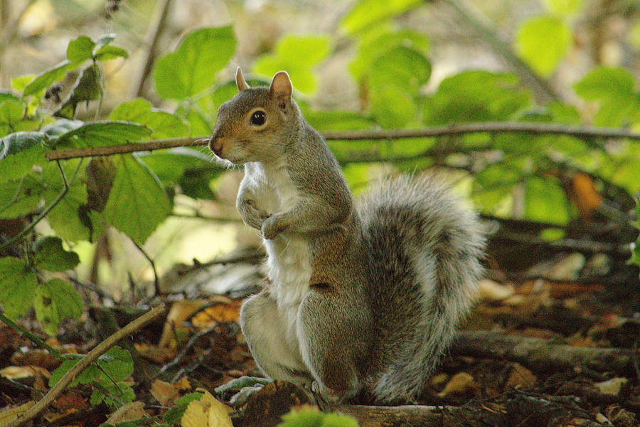 Squirrel In Early Autumn by Adrian Wale