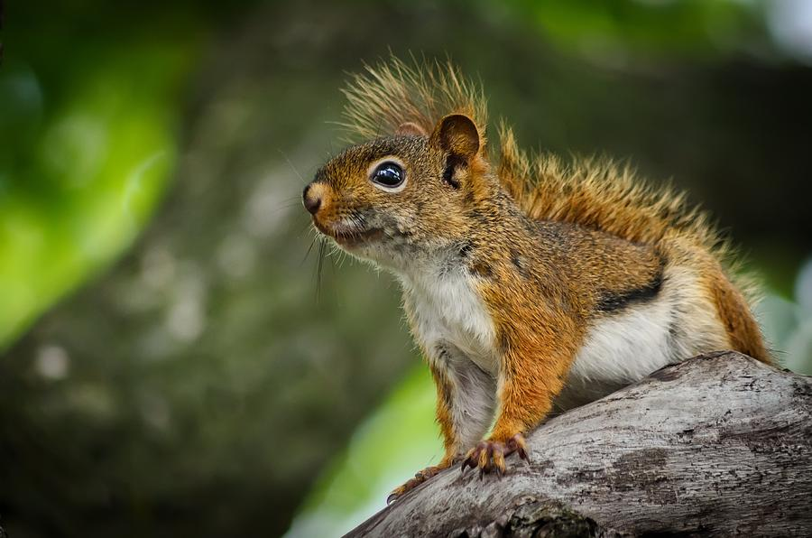 Adult Photograph - Squirrel by Jeff S PhotoArt