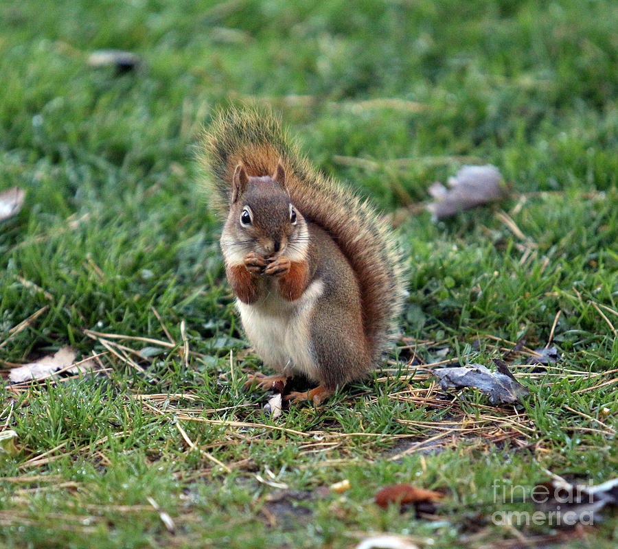 Squirrel Photograph - Squirrel by Kathy DesJardins