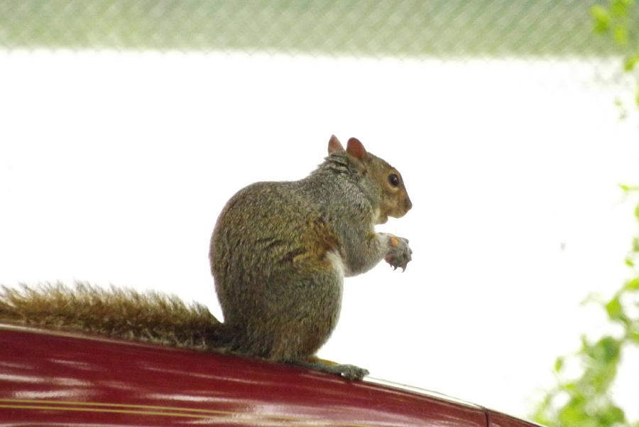 Wild Life Photograph - Squirrel On Car by Hernando Luis Creighton