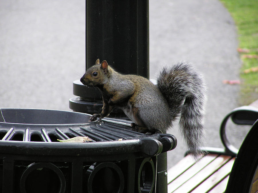Squirrel Photograph - Squirrel On Garbage Can by Richard Mitchell