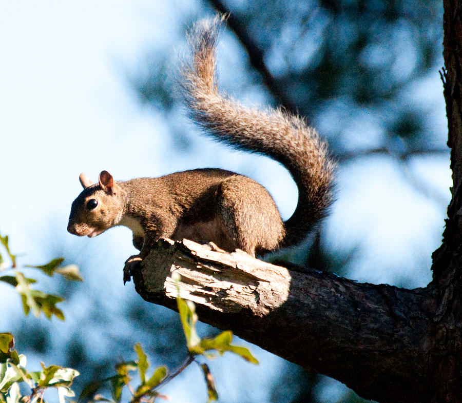 Sea Gull Photograph - Squirrel On Limb by Bill Perry