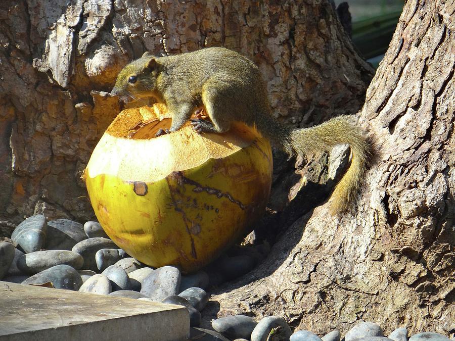 Unschooling Photograph - Squirrel on the coconut by Exploramum Exploramum