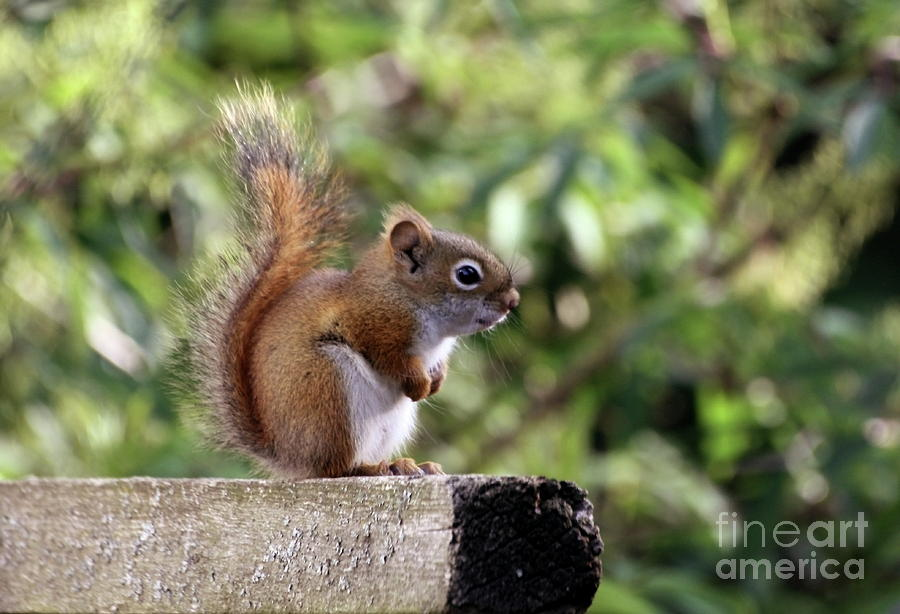 Squirrel Photograph - Squirrel On The Edge by Marjorie Imbeau