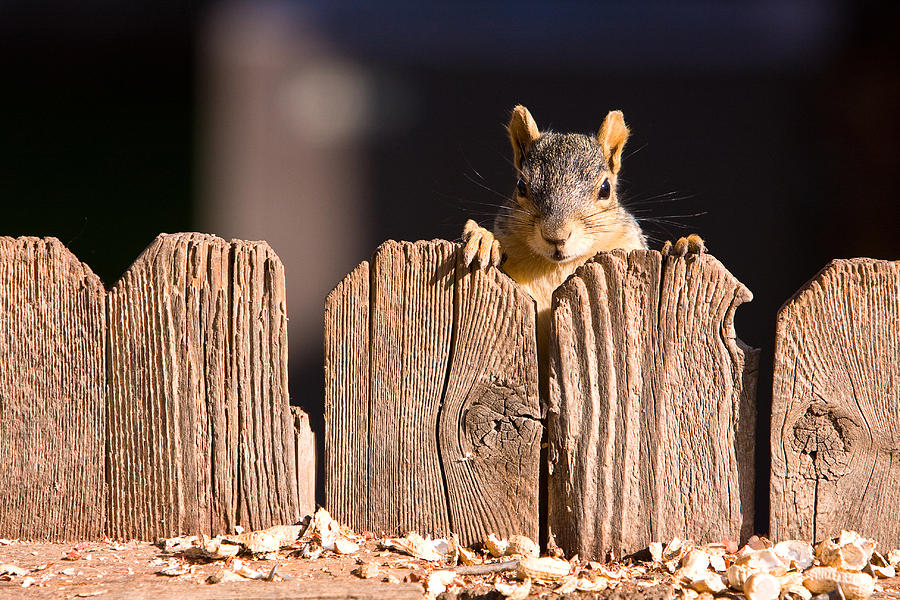 Squirrel Photograph - Squirrel On The Fence by James BO  Insogna