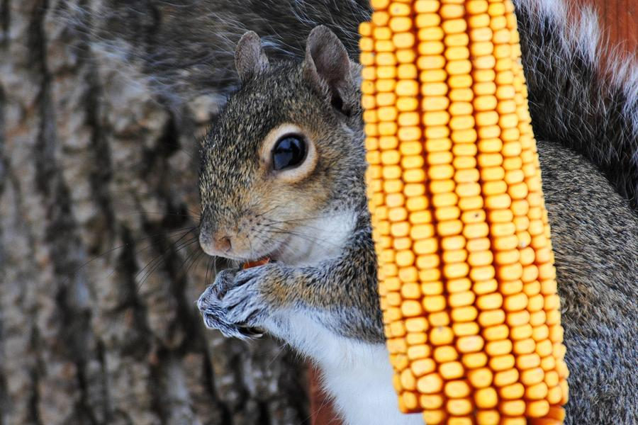 Squirrel Photograph - Squirrel Portrait by Jai Johnson