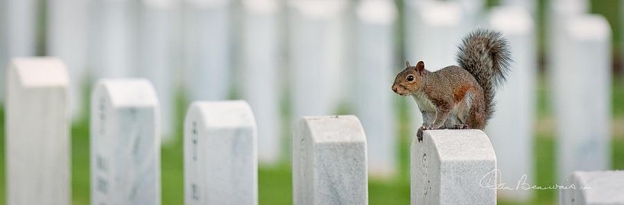 Squirrel - Salisbury National Cemetery 9236 Photograph