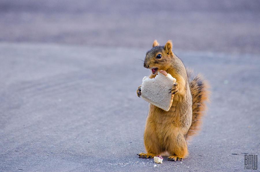 Squirrel Photograph - Squirrel Sandwich by Benjamin Weilert