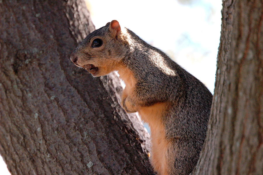 Squirrel Photograph - Squirrel With A Nut by Teresa Blanton