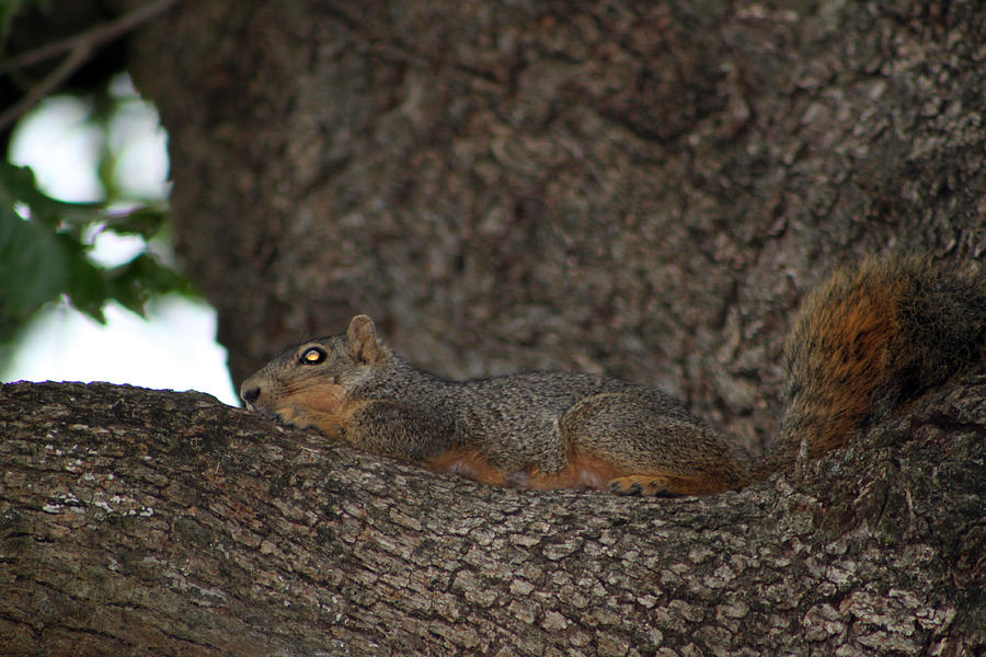 Rodent Photograph - Squirrel1 by Evelyn Patrick