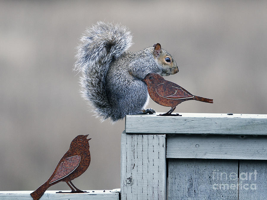 Squirrel Photograph - Squirrely by Marland Howard