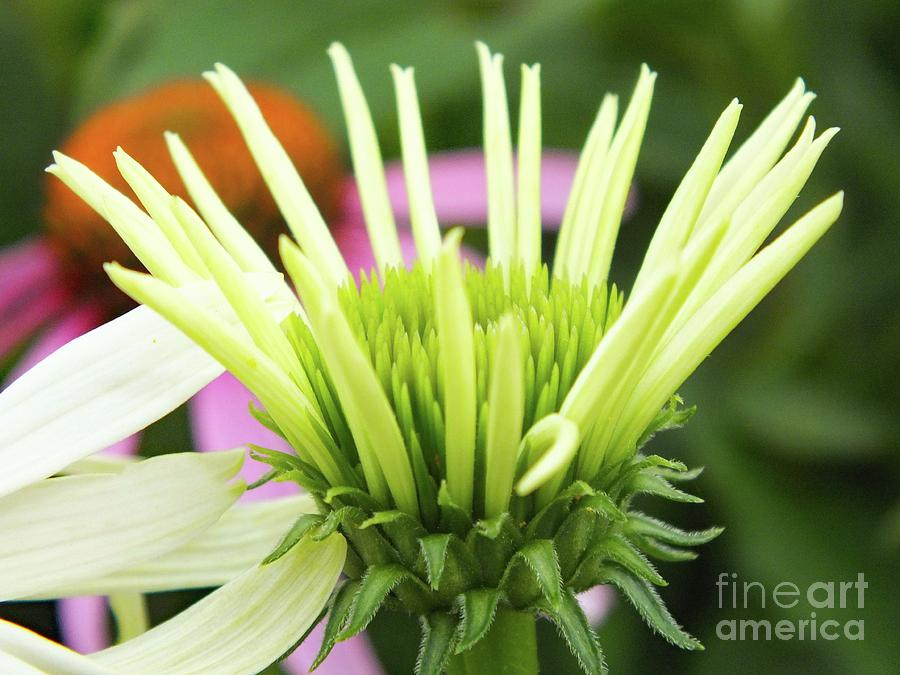 Spreading Its Petals - White Coneflower Photograph