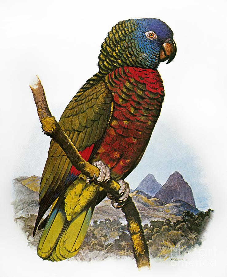 Amazon Photograph - St Lucia Amazon Parrot by Granger
