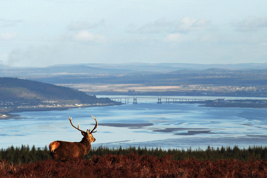 Stag Overlooking the Beauly Firth and Inverness by Gavin Macrae