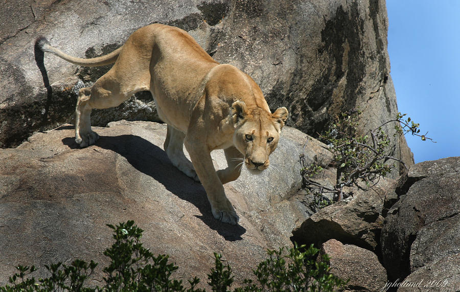 Lioness Photograph - Stalking Humans by Joseph G Holland