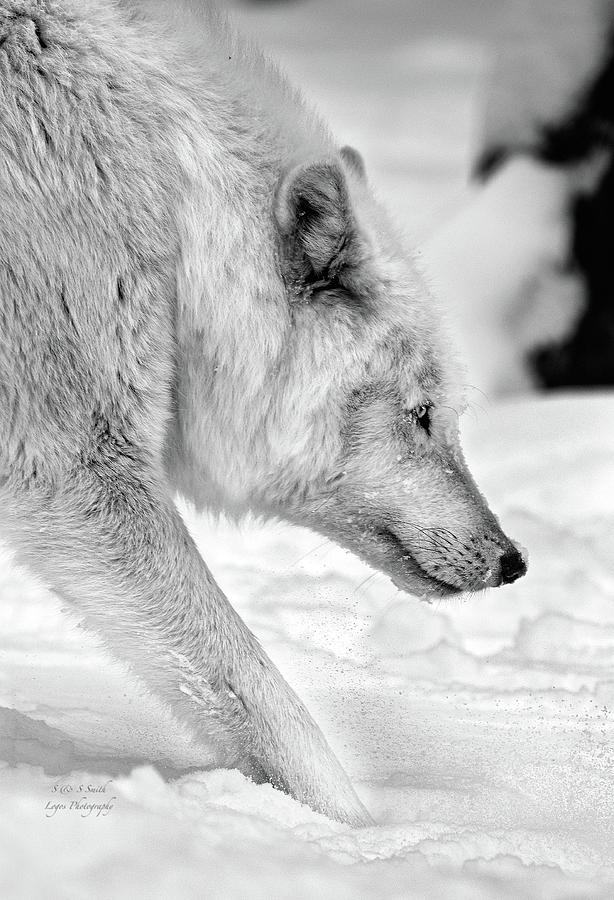 Stalking Wolf black and white by Steve and Sharon Smith