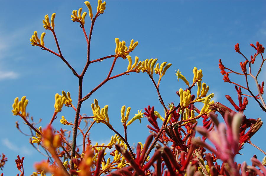 Kangaroo Paw Photograph - Stalks Of Color by Jean Booth