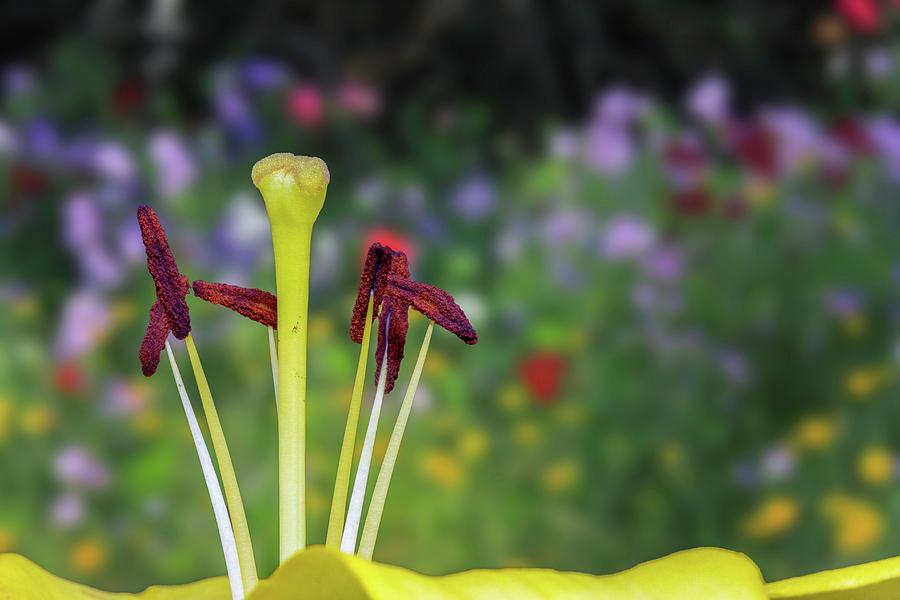 Lily Photograph - Stamen by Trish VanHousen