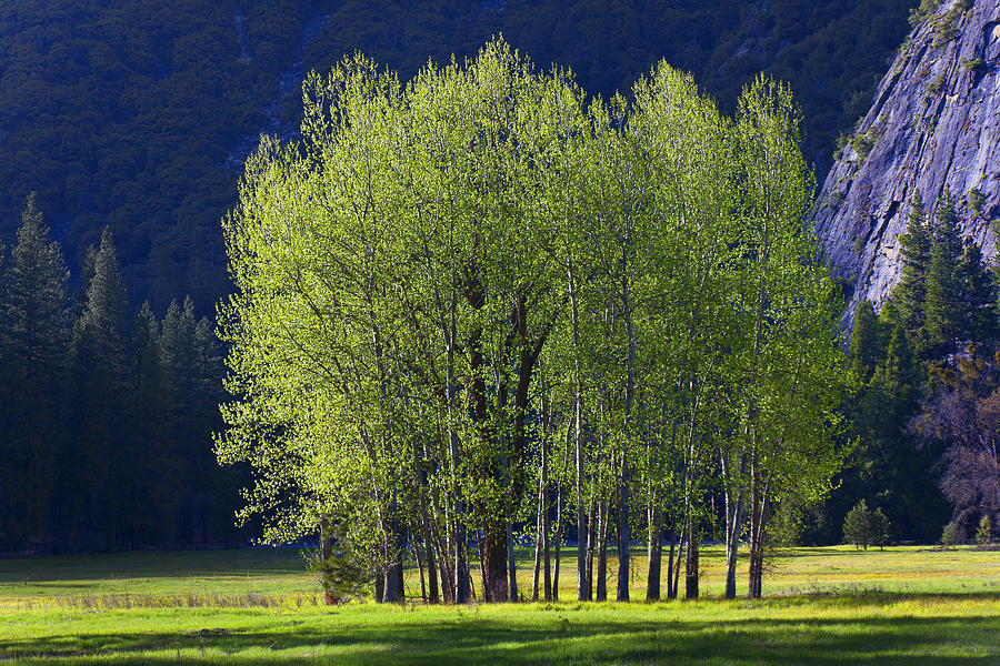 Trees Photograph - Stand Of Trees Yosemite Valley by Garry Gay
