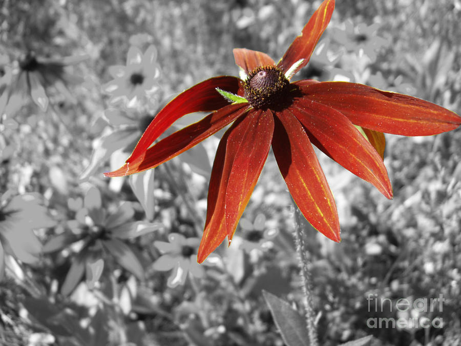 Black Eyed Susan Photograph - Stand Out  by Cathy Beharriell